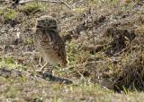 Burrowing Owl,  The Pantanal