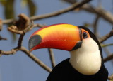 Toco Toucan 2,  The Pantanal