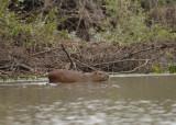 Capybara 1, The Pantanal