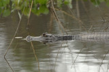 Caiman 2,  The Pantanal