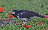 007 - Asian Pied Starling