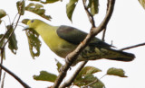 210 - Wedge-tailed Green Pigeon (male)