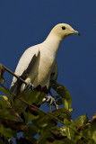 217 ::Pied Imperial  Pigeon::