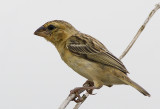Asian Golden Weaver (female)