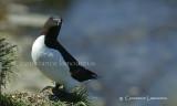 petit pingouin .jpg