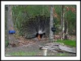 Backyard Visitor 4