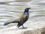 Common Grackle (Bronzed)