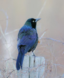 Common Grackle (Purple)