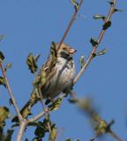 Harris's Sparrow, Petaluma, January 2007