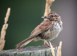 Song Sparrow (Other forms)