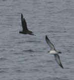 South Polar Skua with Pink-footed Shearwater