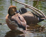 Fulvous Whistling-Duck with Blue-winged Teal