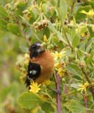 Black-headed Grosbeak