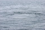 Humpback Whale Footprint