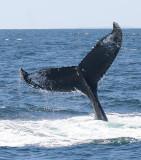 Humpback Whale Entangled in Fishing Gear
