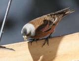Gray-crowned Rosy-Finch (Hepburn's)
