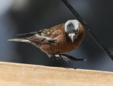 Gray-crowned Rosy-Finch (Gray-crowned)