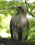 Red-tailed Hawk, Eastern form