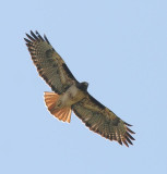 Red-tailed Hawk, Western form