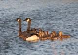Canada Goose (Dusky)