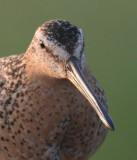 Short-billed Dowitcher (Pacific)