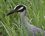 Yellow Crowned Night Heron -  HJ2K3497
