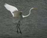 Great Egret - HJ2K3828
