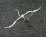 Great Egret - HJ2K3832