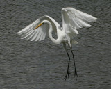 Great Egret - HJ2K3833