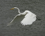 Great Egret - HJ2K3838