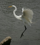 Great Egret - HJ2K3843