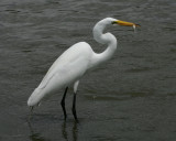 Great Egret - HJ2K3879