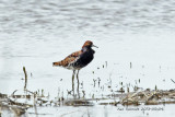 Ruff , in breeding colors but bad light
