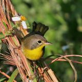 Common yellowthroat Warbler,1st winter male