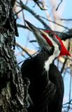 Pileated Woodpecker,male