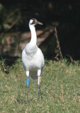 Whooping Crane,01-26-2007