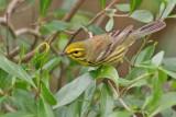 Warbler,Prairie