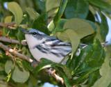Warbler,Cerulean