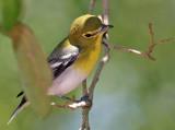 Vireo, Yellow-throated