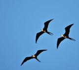 Frigatebirds, Magnificent