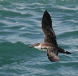 Shearwater, Greater