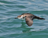 Greater Shearwater, 06-17-2007
