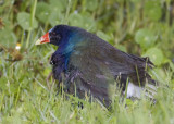 Purple Gallinule with chick in the rain