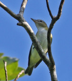 Red-eyed Vireo,