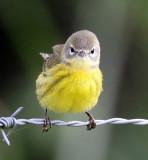 First winter Prairie warbler