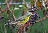 Female Prairie warbler