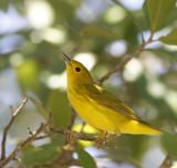 Warbler,Yellow