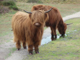 Highland cattle in the lowlands