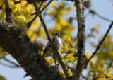 Collared Flycatcher / Ficedula albicollis / Halsbandsflugsnappare