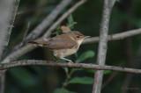 Reed Warbler / Acrocephalus scirpaceus / Rörsångare